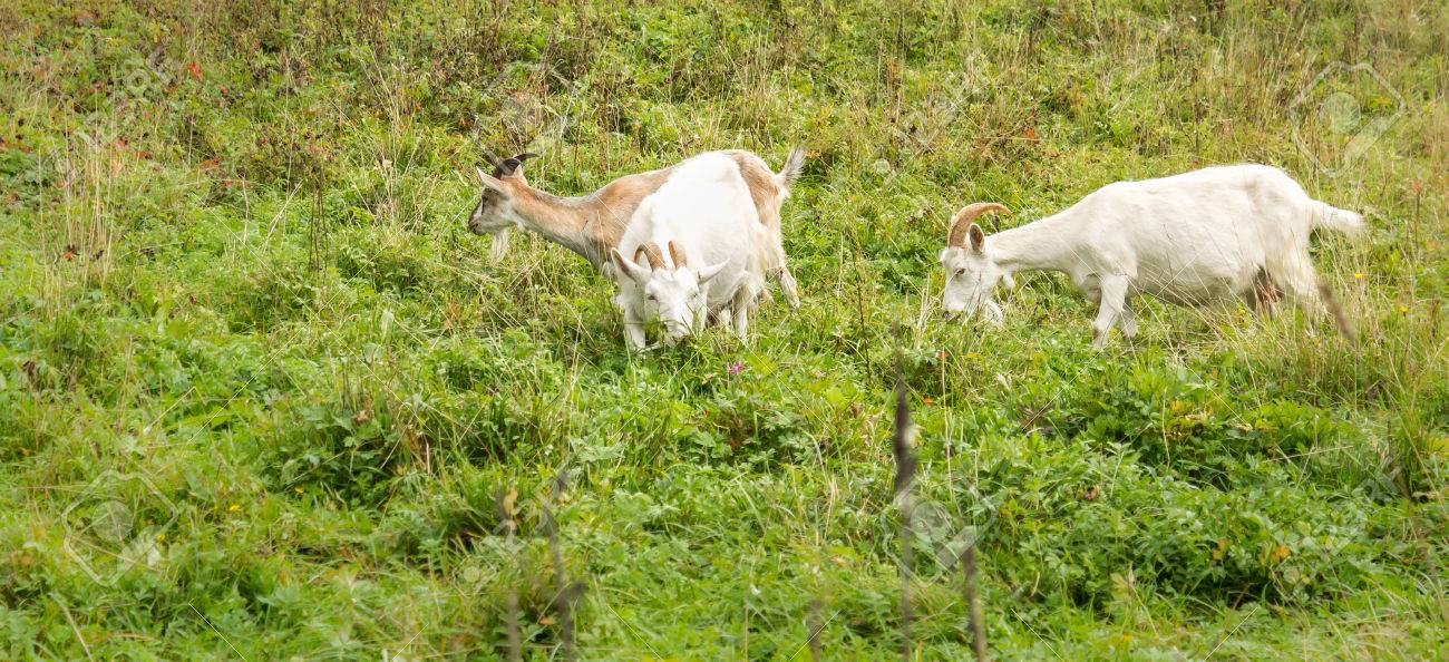 Adult Alpine goat breeds and two white goats in the meadow