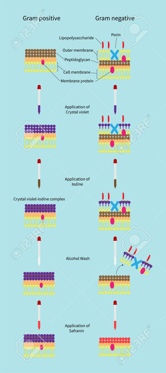 This differential staining procedure separates most bacteria into two groups on the basis of cell wall composition, Bacteria gram positive and gram negative - 147345356