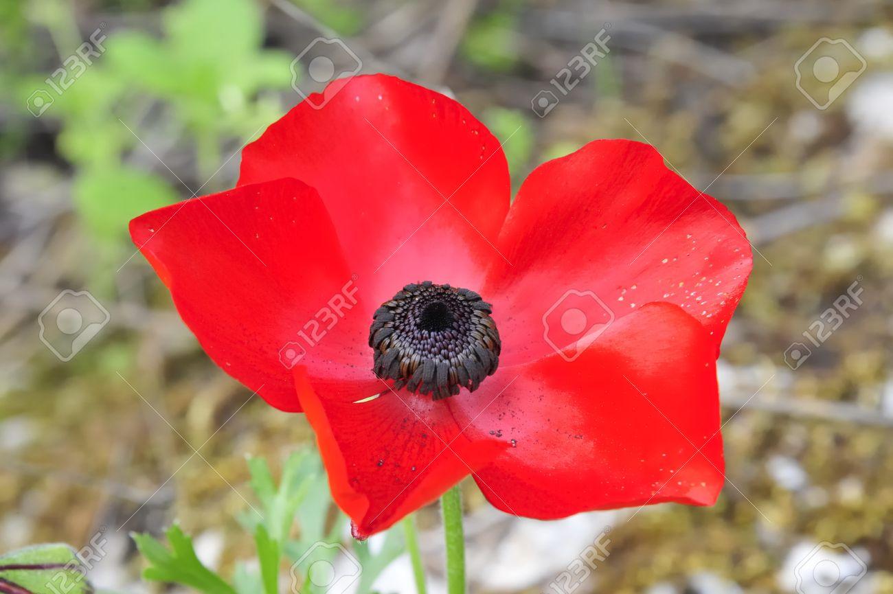 Red Anemone flower. Stock Photo - 10889192