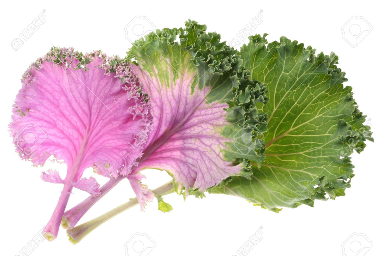 Cabbage Purple Leaf Vegetable Isolated On White Background Stock ...