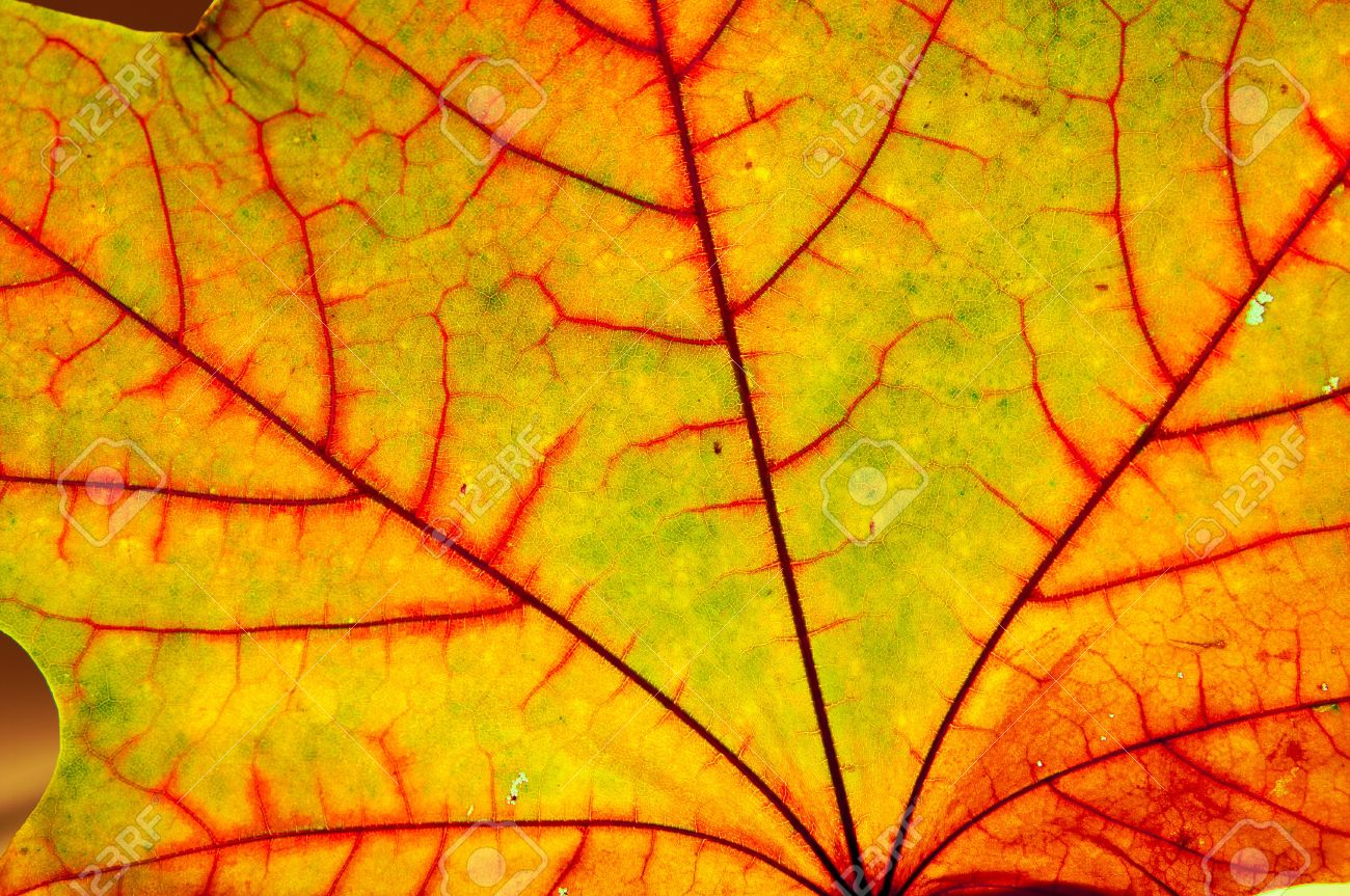 Close Up Of The Autumn Maple Multicolored Leaf Stock Photo Picture And Royalty Free Image Image 10196586