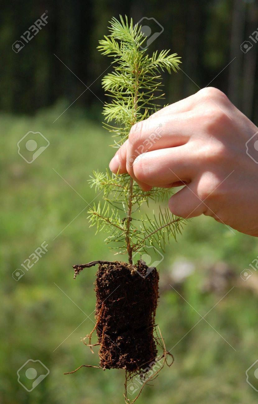 Как правильно посадить ель? - Delfi 66