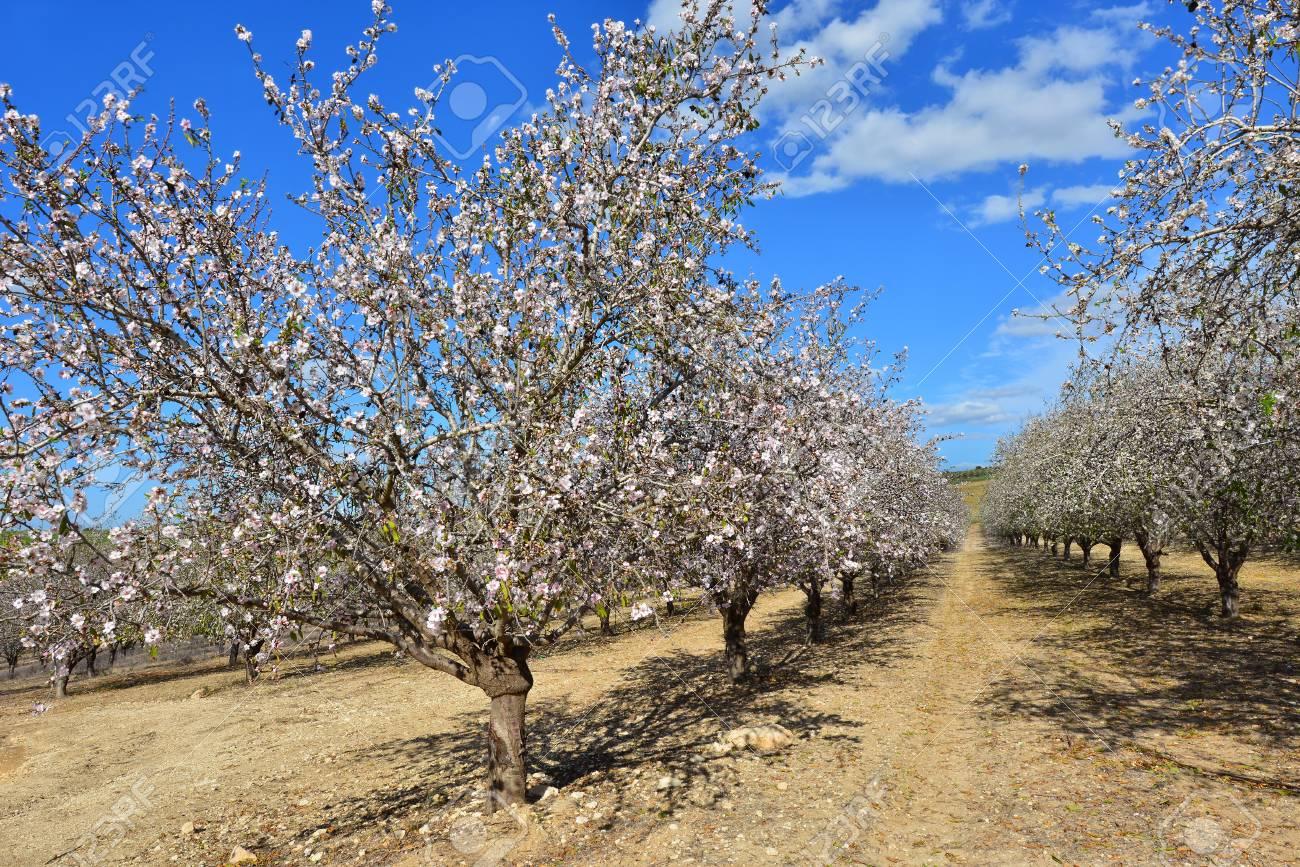 Flowering trees and a bright blue sky stock photo picture and flowering trees and a bright blue sky stock photo 17974088 izmirmasajfo