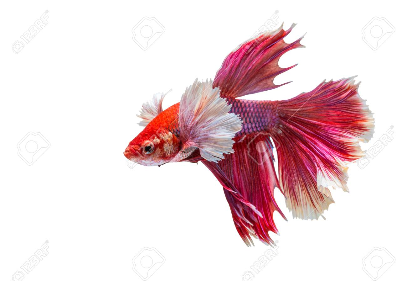 Small Betta Fish Photos >> Betta Fish My Favorite Aquatic Life X3 ...