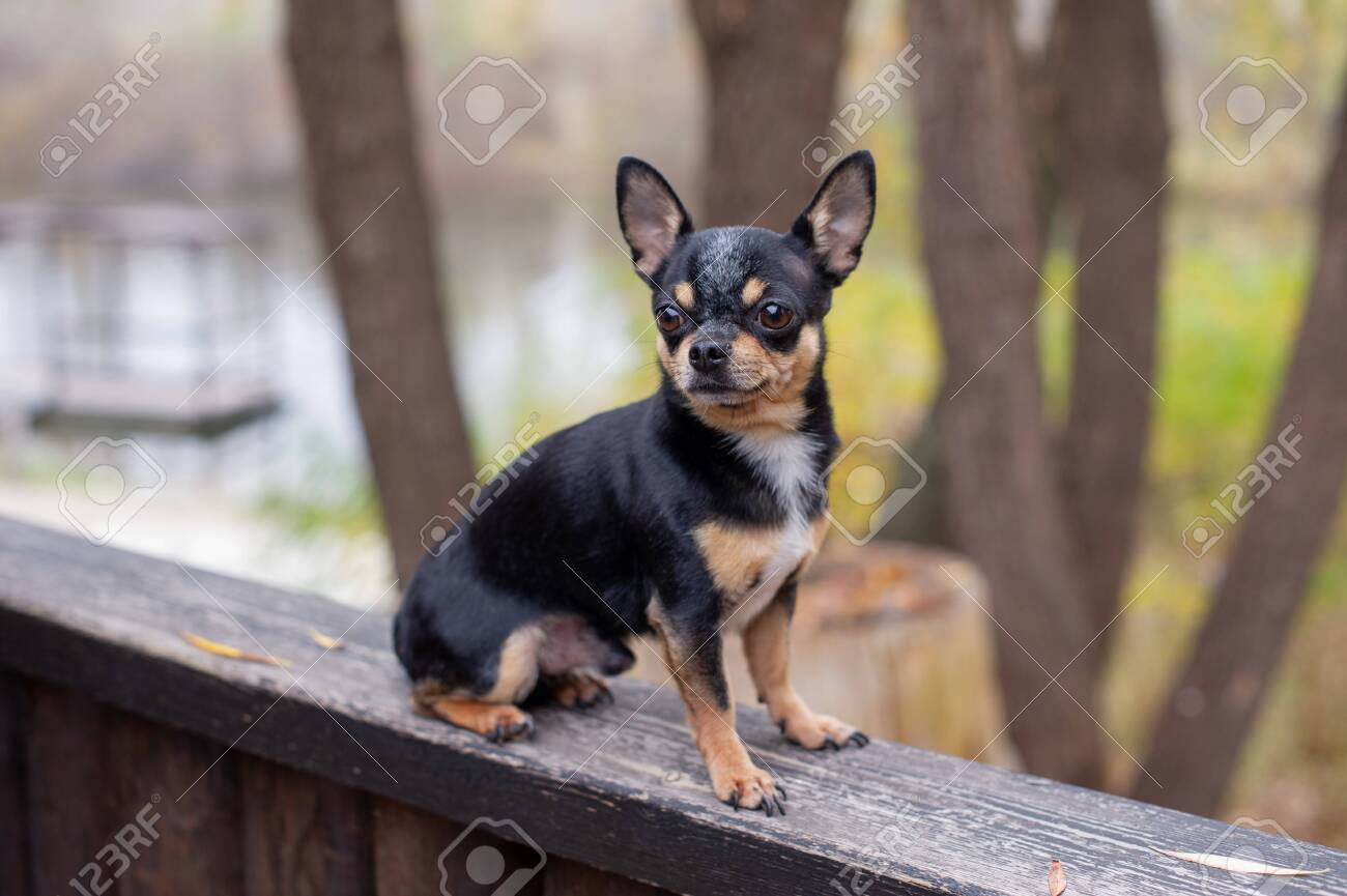 Pet Dog Chihuahua Walks On The Street Chihuahua Dog For A Walk Stock Photo Picture And Royalty Free Image Image 132704226