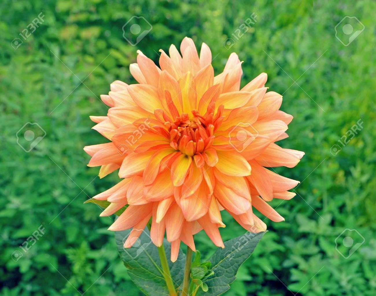 Beautiful Orange Dahlia Flower With Green Leaves Colorful Orange