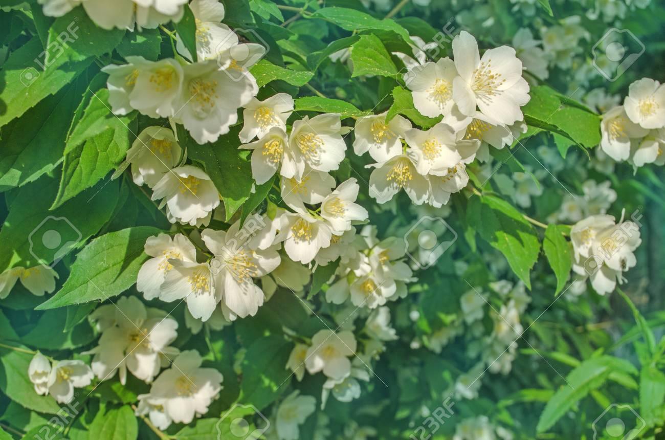 Jasmine flower in a garden white flowers of jasmine stock photo jasmine flower in a garden white flowers of jasmine stock photo 79198710 izmirmasajfo