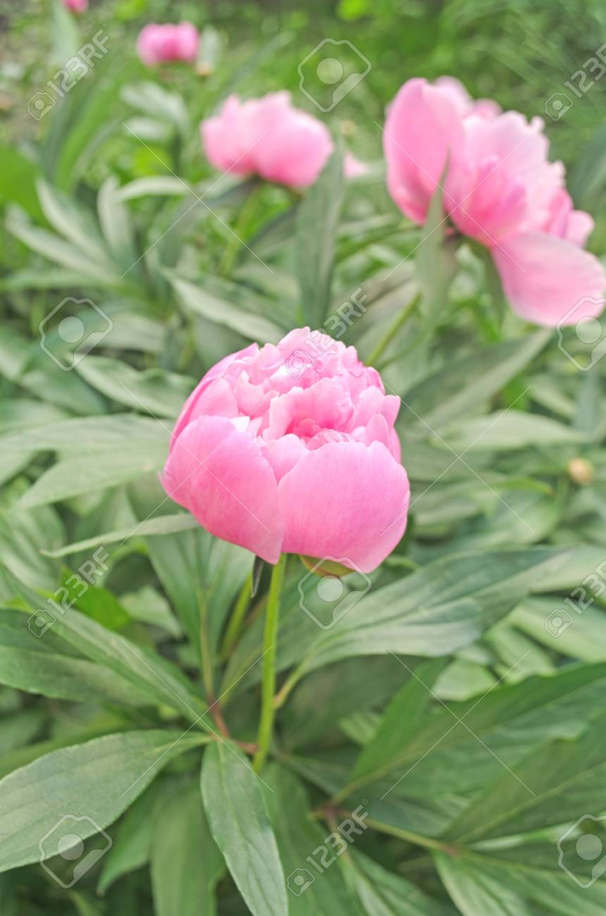 A Beautiful Blooming Peony Bush With Pink Flowers Stock Photo