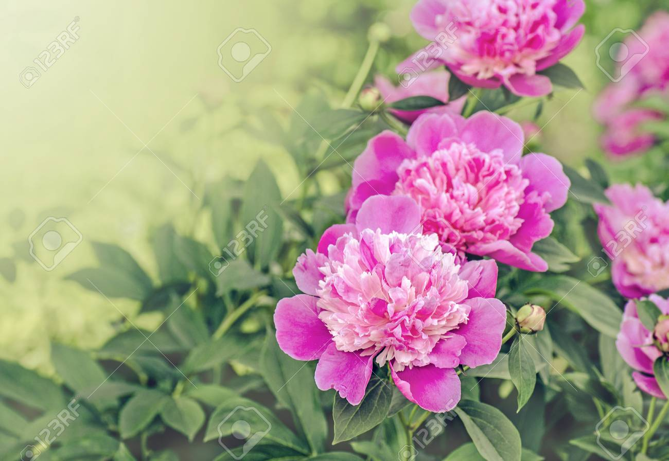 Peonies Lovely Background Beautiful Pink Peonies Paeonia