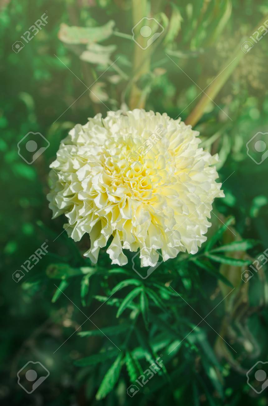 White Pastel Marigold In The Garden Marigold Flower In White