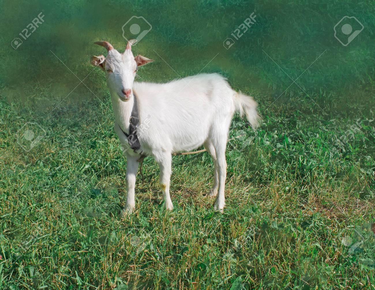 White goat kid  A baby white goat in the small farm  White goats