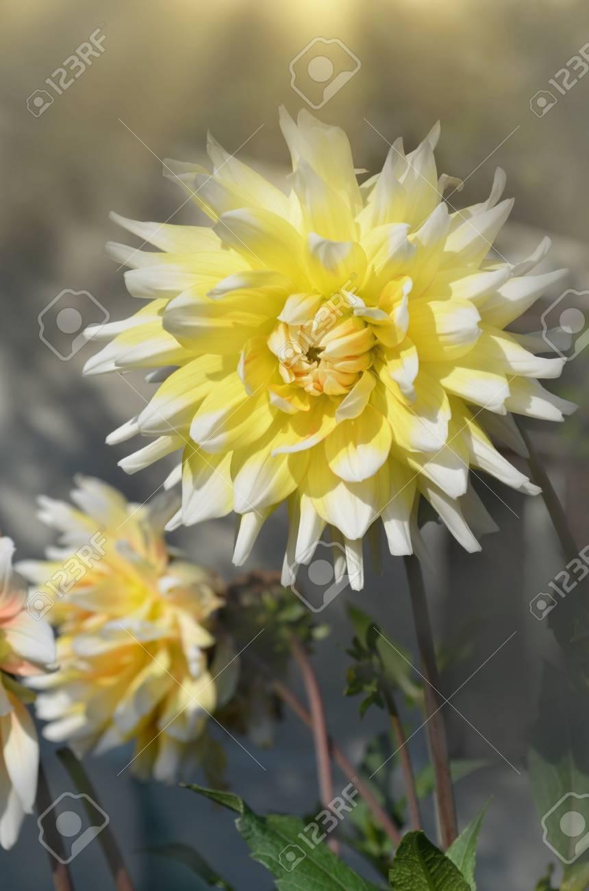 Dahlia Yellow Flower Head In Bloom Yellow Dahlia Flower In Flower
