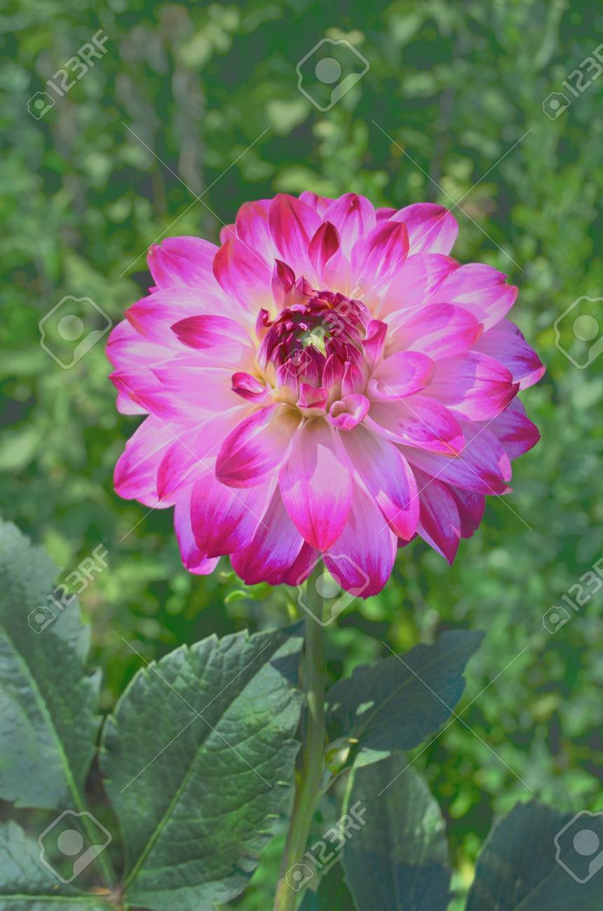 Single Dahlia Flower With Nature Background Purple Dahlia Flowers Stock Photo Picture And Royalty Free Image Image 110927365
