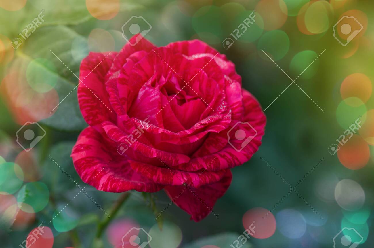 Choosing The Best Tabby Roses For Floral Bouquets Lovely Zonate