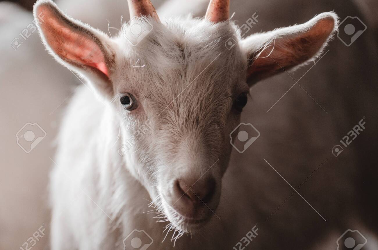 Domestic goats in the farm. Little goat in the barn standing in wooden shelter - 145438637