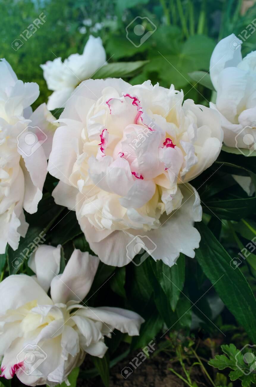 Beautiful white peony close up. Blooming white peony flower...