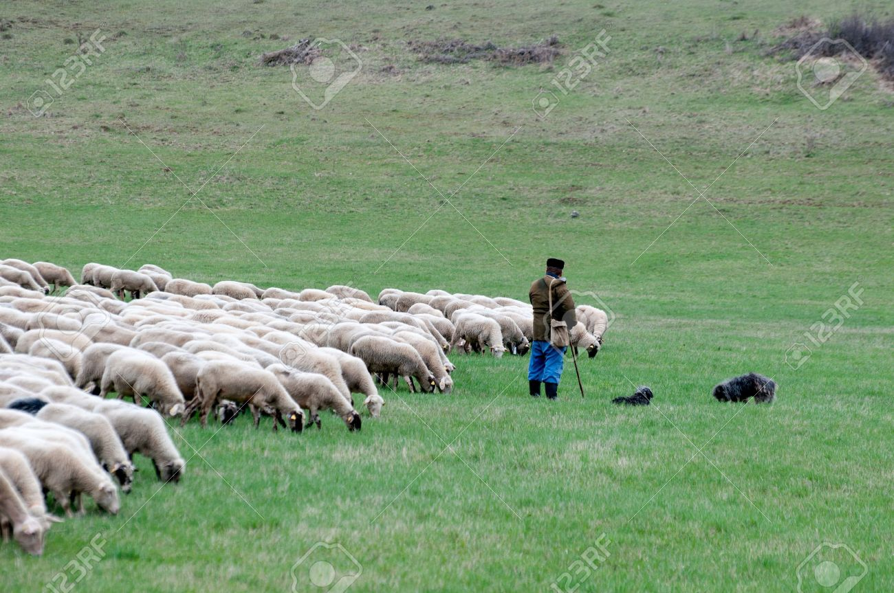 Shepherd with sheep and dogs Stock Photo - 15659393