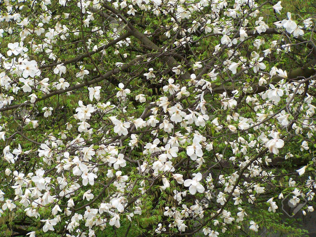 Blooming magnolia tree white colored flowers background stock white colored flowers background stock photo 2878776 mightylinksfo