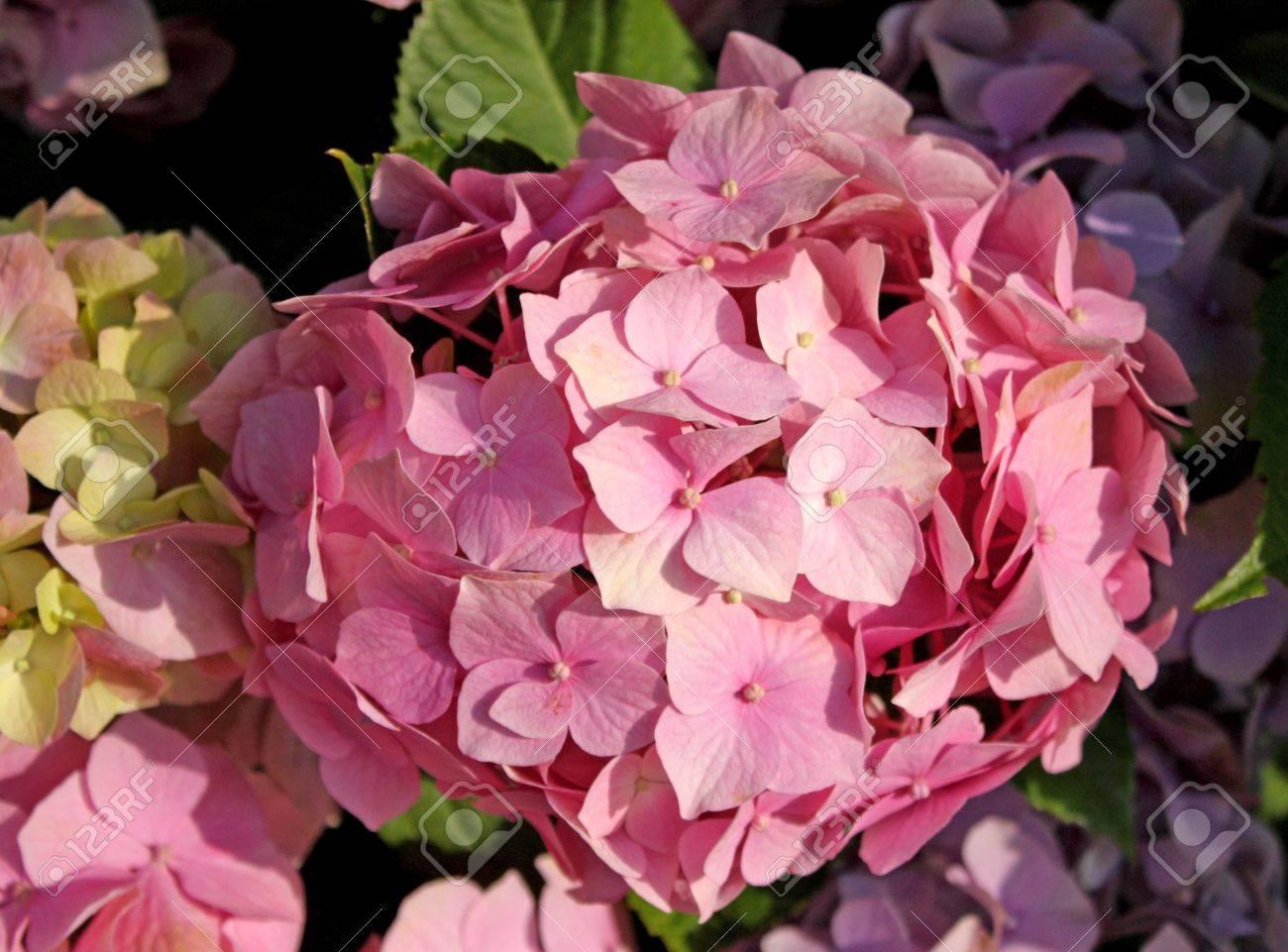 gros les fleurs rose boule de neige. banque d'images et photos