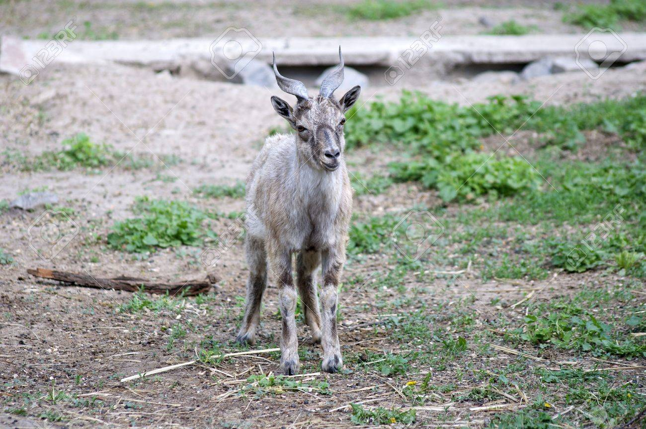a lonely child of a mountain goat Stock Photo - 13550043