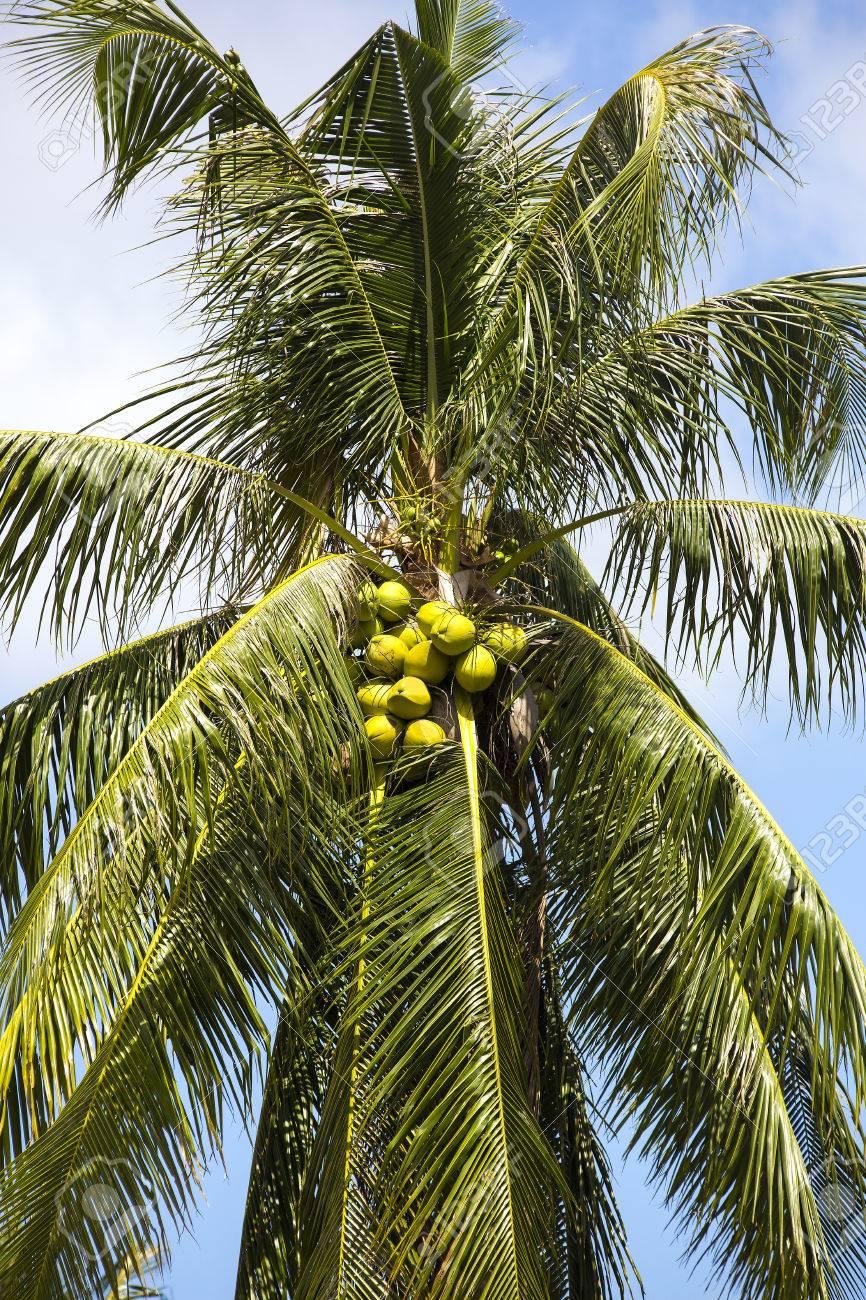 Bosque De Cocoteros Con Cocos Maduros Verano En El Trópico Fotos, Retratos,  Imágenes Y Fotografía De Archivo Libres De Derecho. Image 60440462.