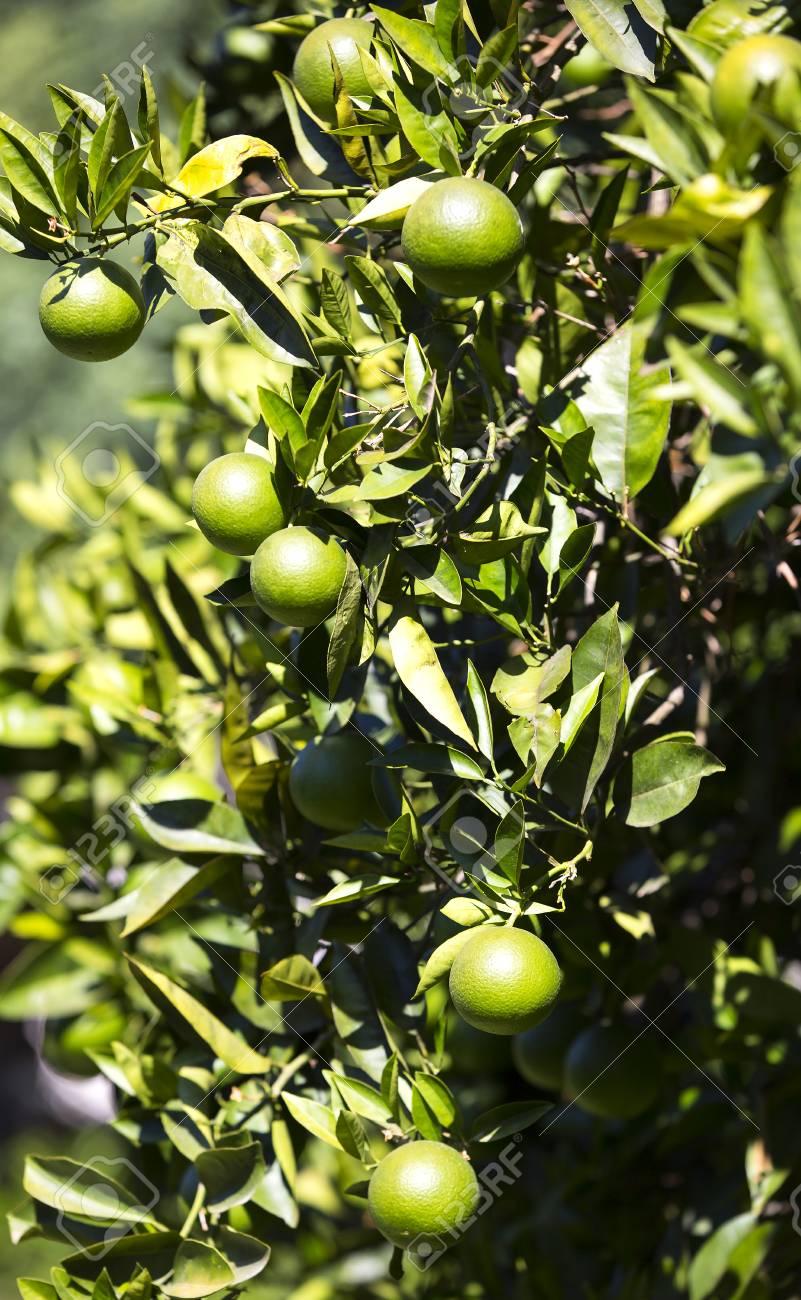 フルーツとオレンジの木が庭に熟...