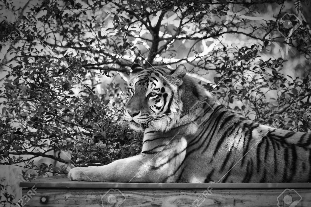 11cd2e0f2 A Tiger Portrait In Black And White Stock Photo, Picture And Royalty ...