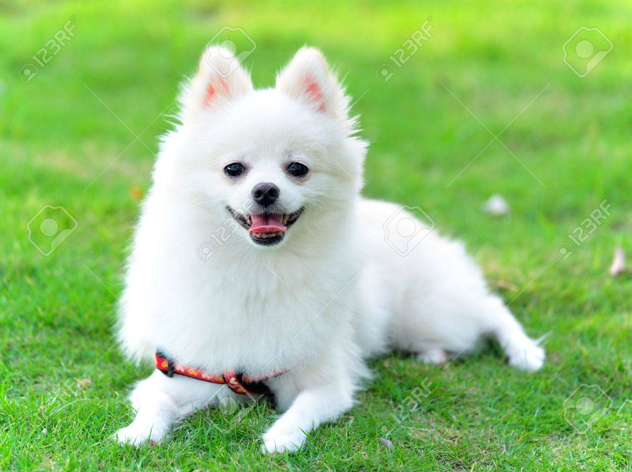 Pomeranian Puppy Stock Photos And Images 123rf
