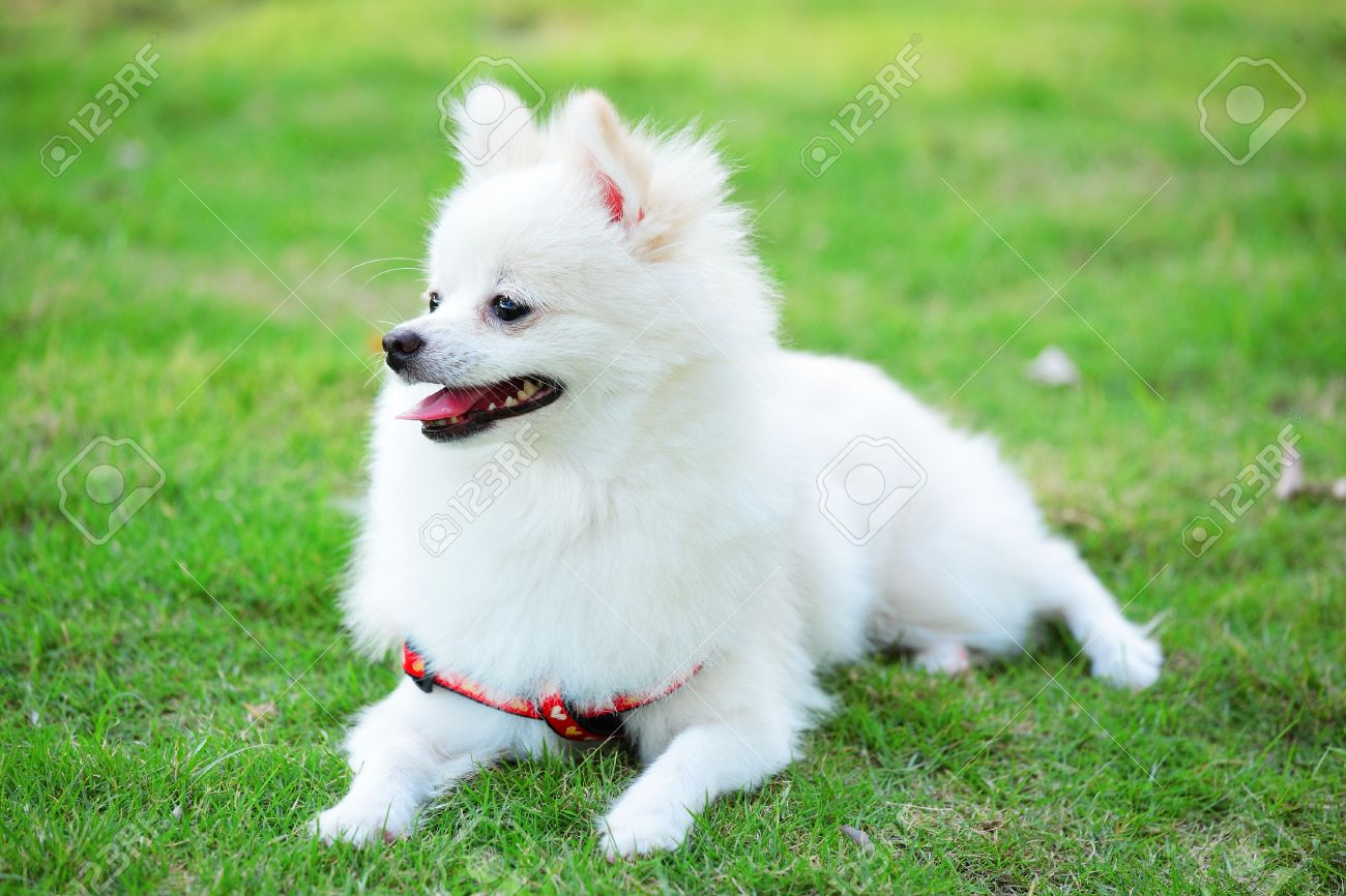 White pomeranian dog stock photo picture and royalty free image stock photo white pomeranian dog thecheapjerseys Image collections