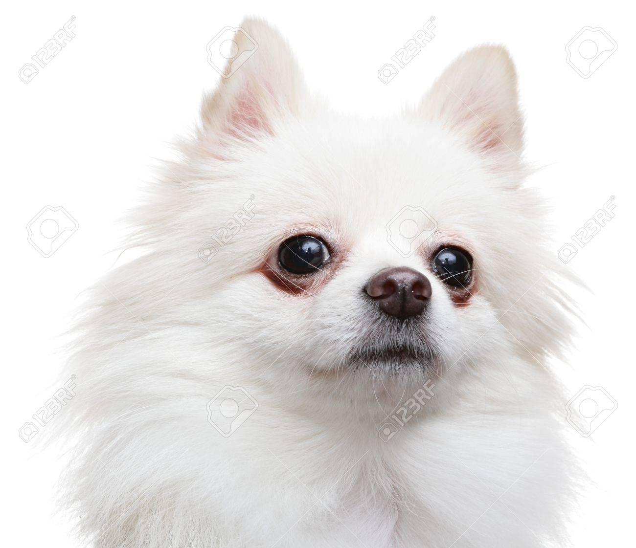 white pomeranian spitz dog Stock Photo - 11964751