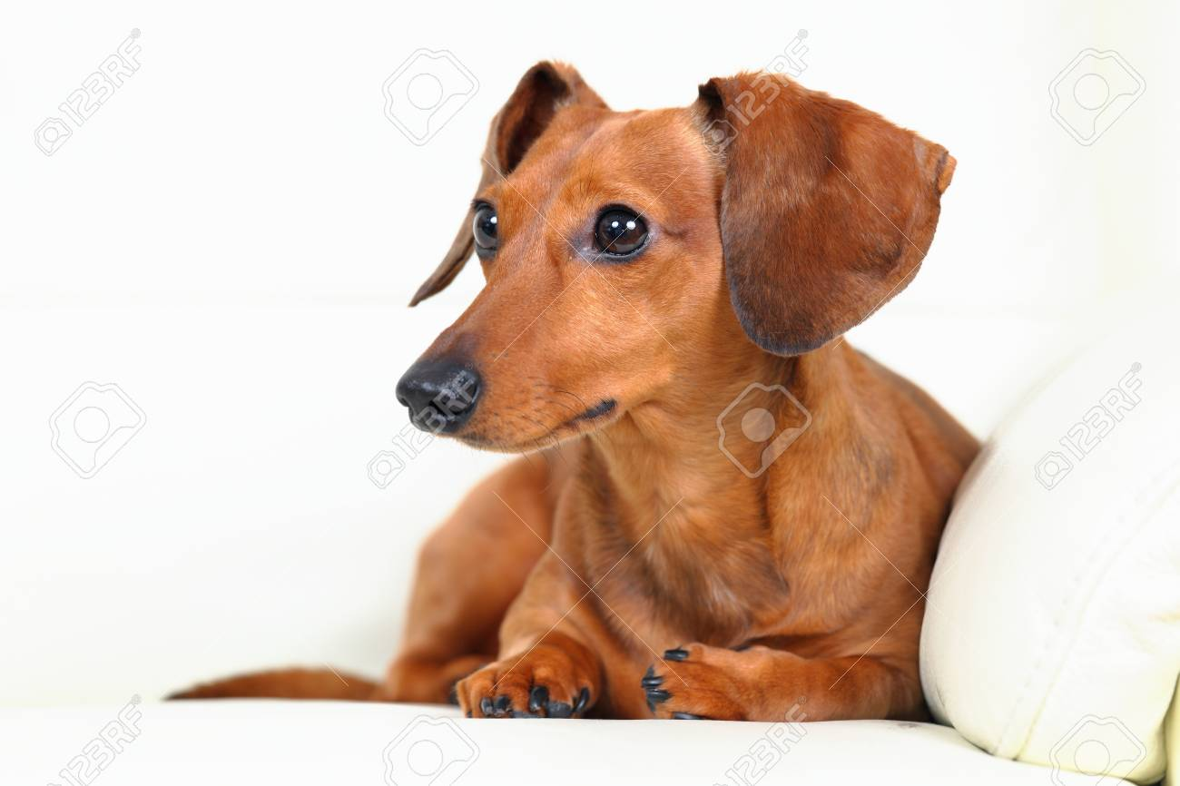 dachshund dog on sofa Stock Photo - 15190144