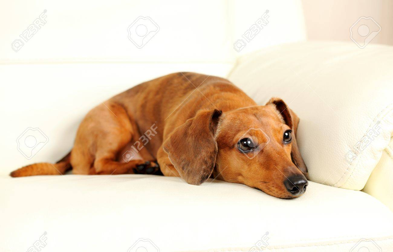 dachshund dog on sofa Stock Photo - 17301881
