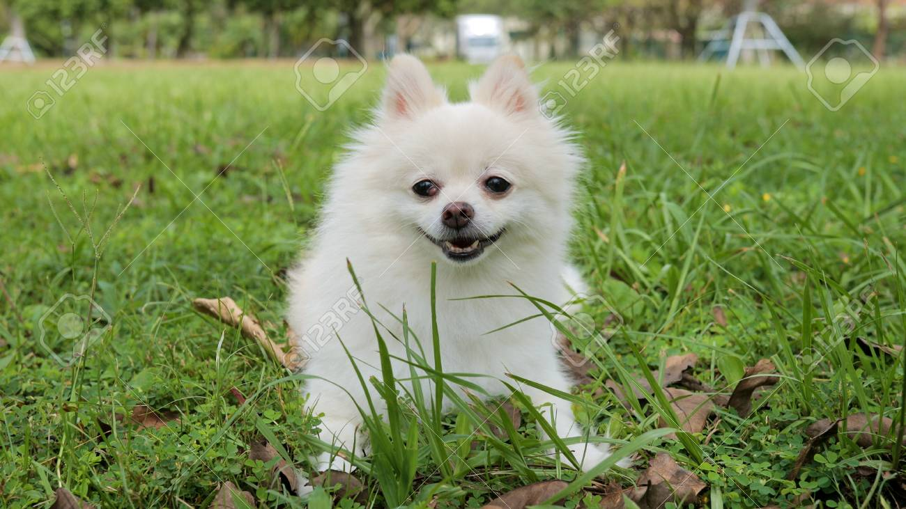 White Pomeranian Dog Stock Photo Picture And Royalty Free Image