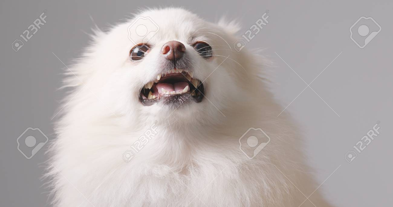 Angry Pomeranian Dog Stock Photo Picture And Royalty Free Image