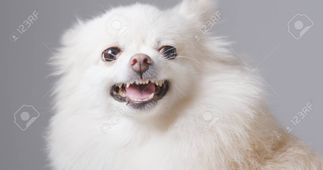 Barking Pomeranian Dog Stock Photo Picture And Royalty Free Image