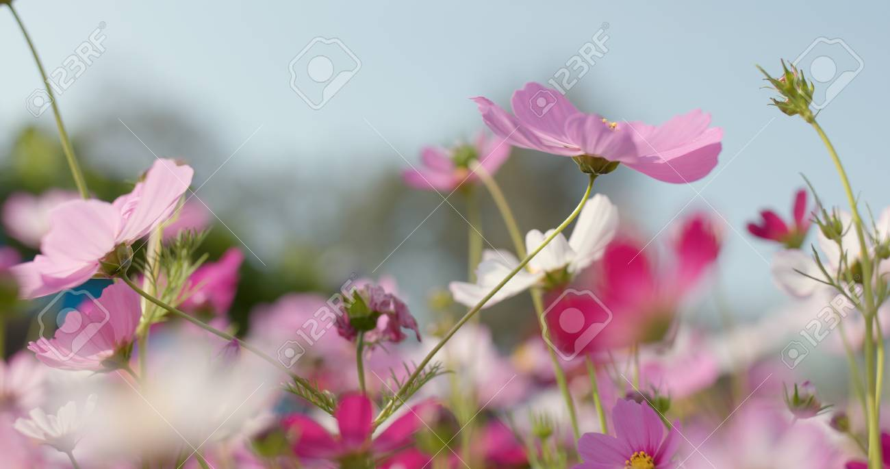 Pink and white cosmo flower garden stock photo picture and royalty pink and white cosmo flower garden stock photo 104633433 mightylinksfo
