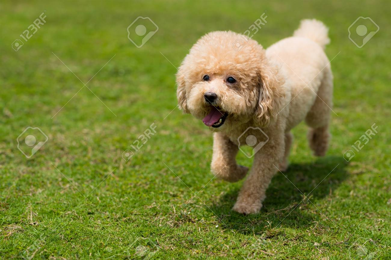 Dog poodle run in the park - 120854258