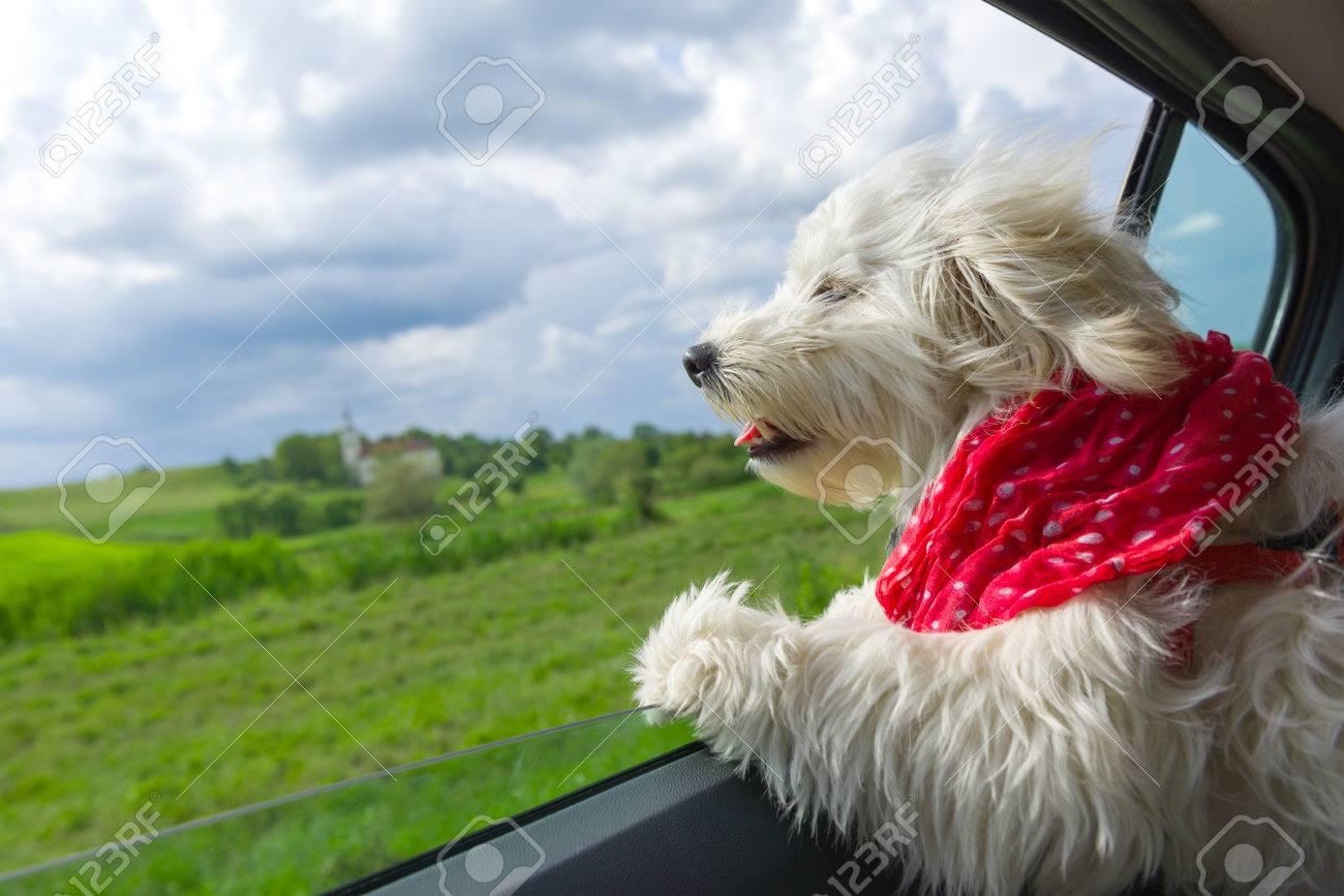 Dog enjoying a ride with the car - 61317530