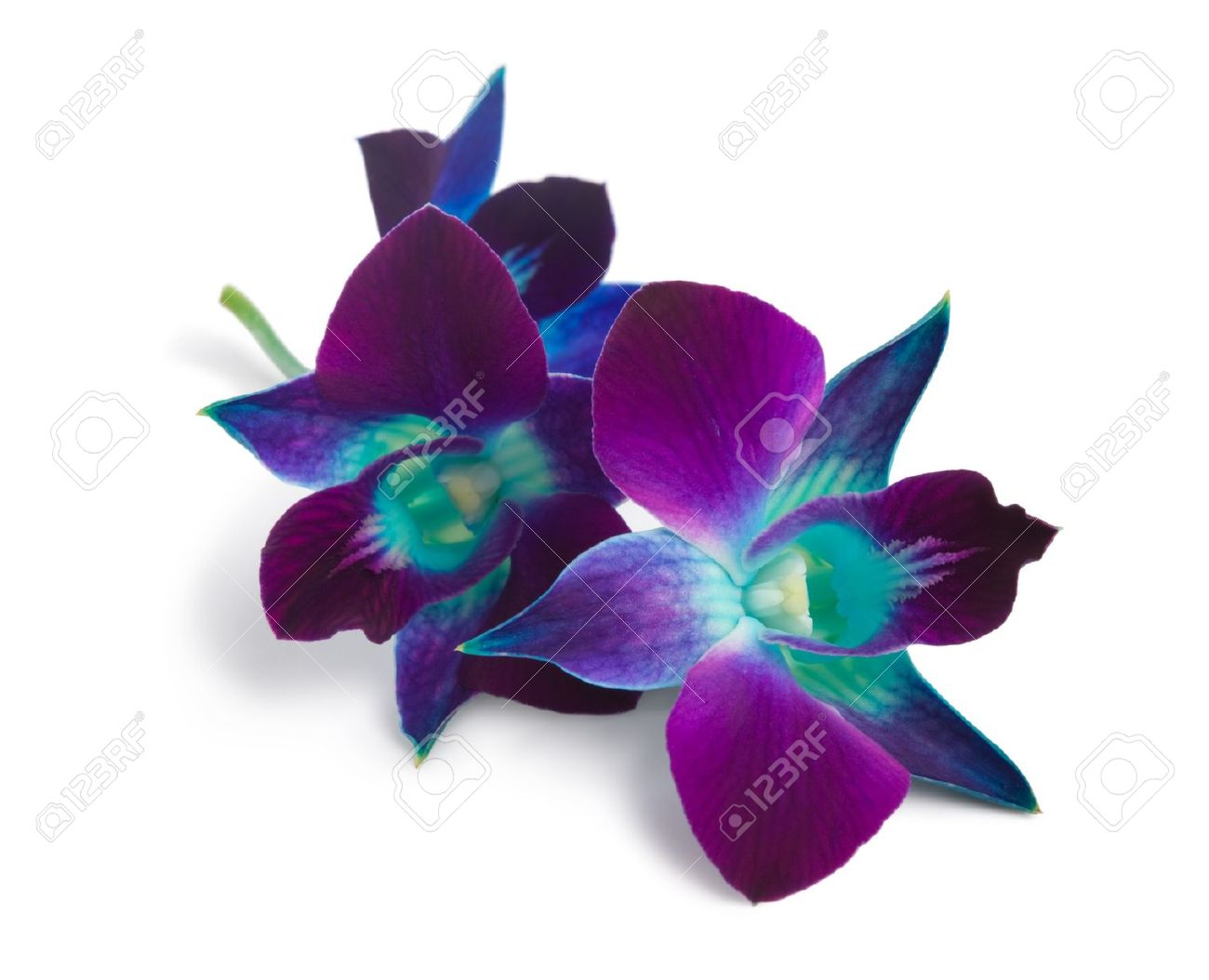 Deep Purple Orchid Isolated On A White Stock Photo Picture And