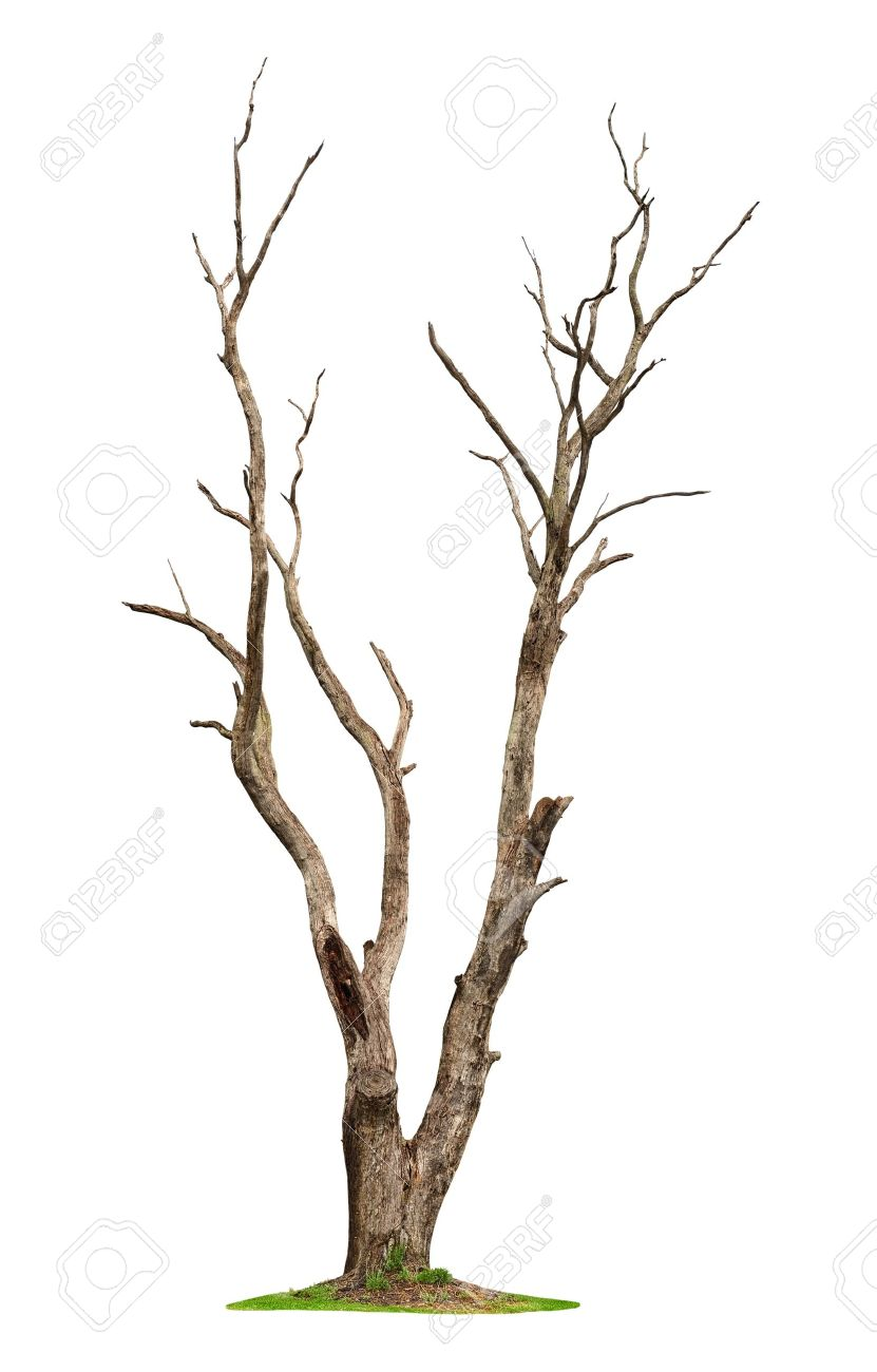 Single old and dead tree isolated on white background Stock Photo - 12527414