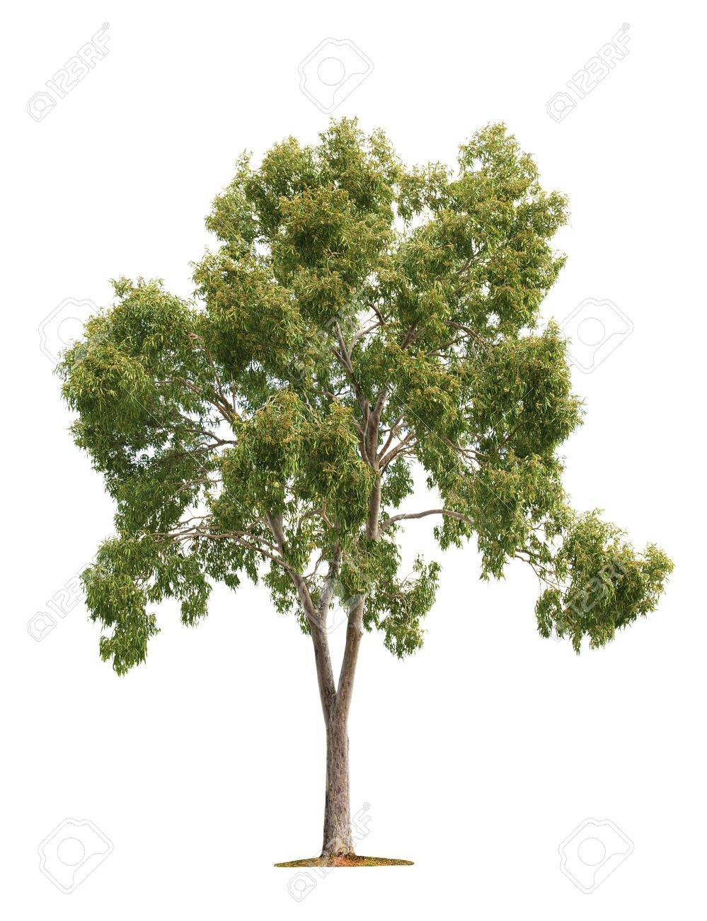 Green beautiful and tall tree isolated on white background Stock Photo - 13880585