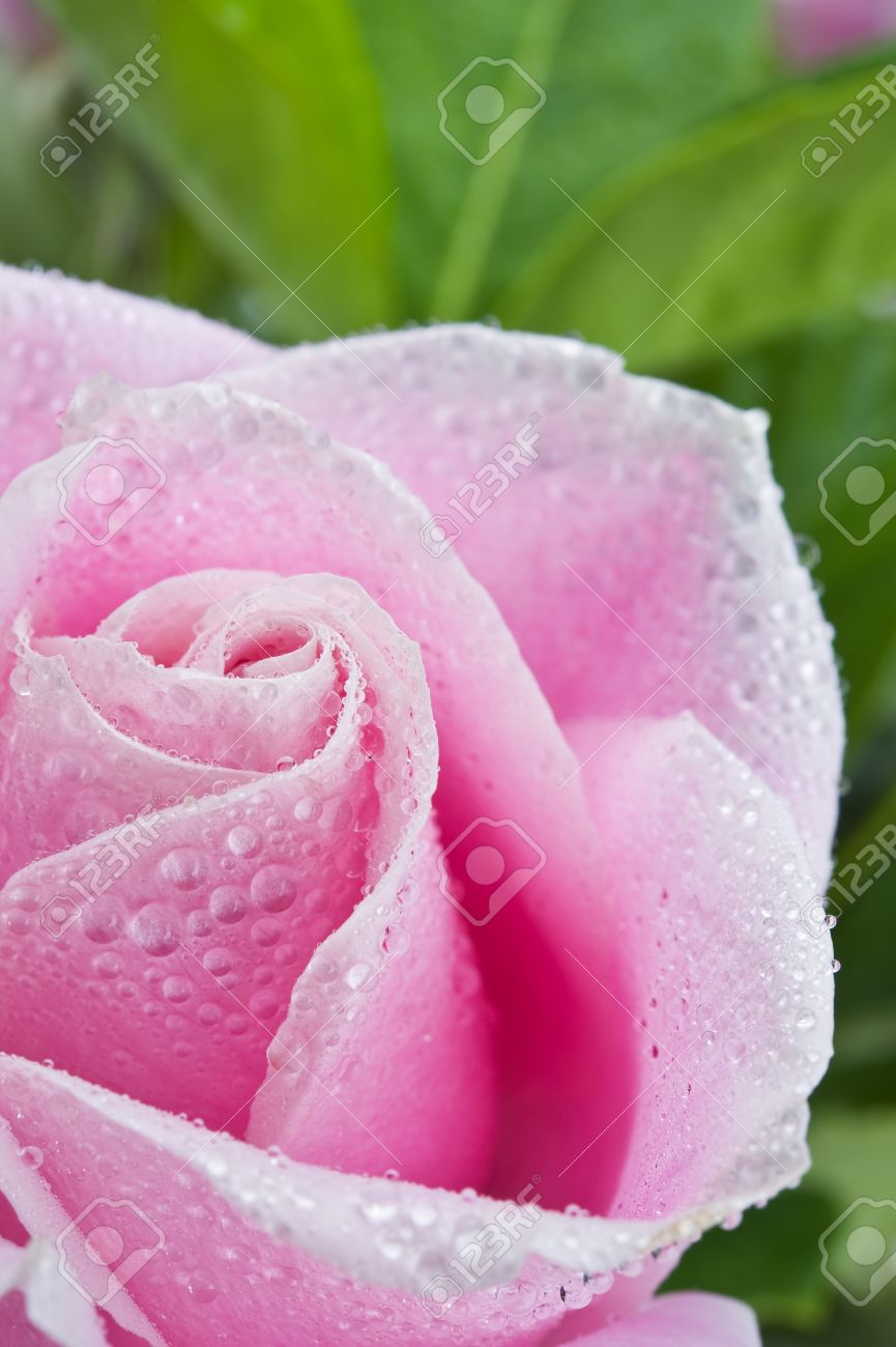 Rose Water Drops Stock Photos Royalty Free Rose Water Drops Images