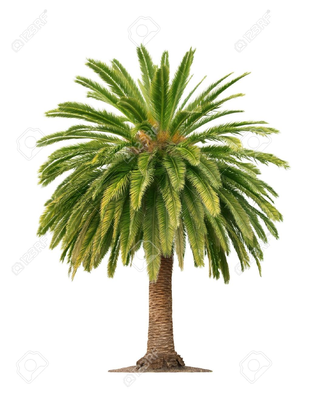 palm tree images u0026 stock pictures royalty free palm tree photos