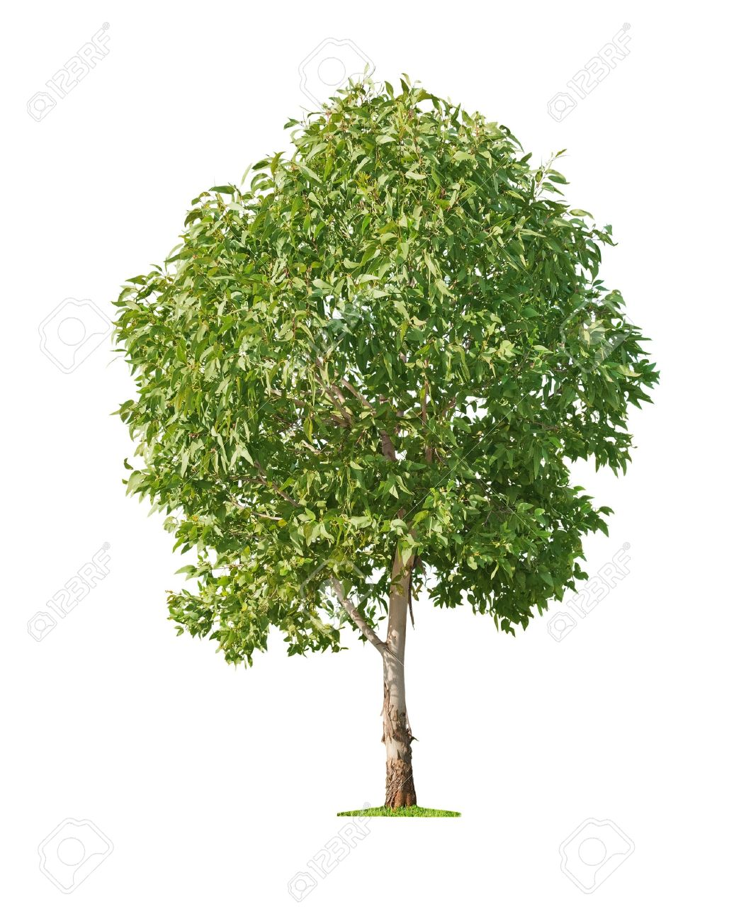 Green beautiful and young eucalyptus tree isolated on white background Stock Photo - 16325700