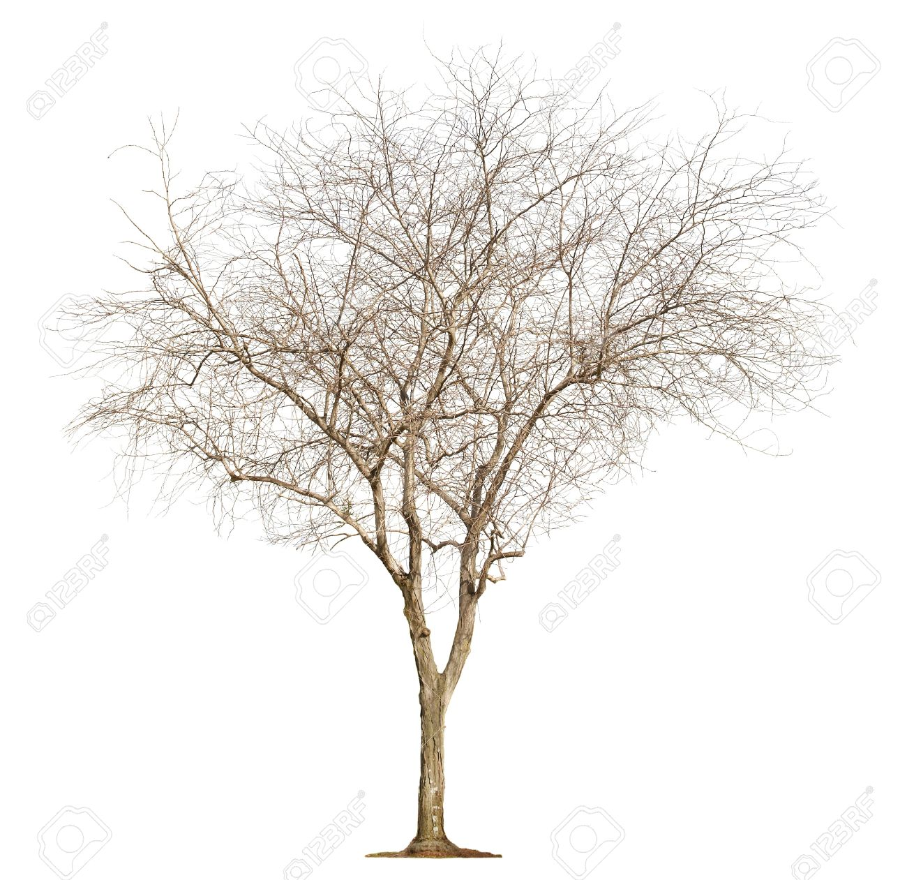 Single old and leafless tree isolated on white background Stock Photo - 18467496