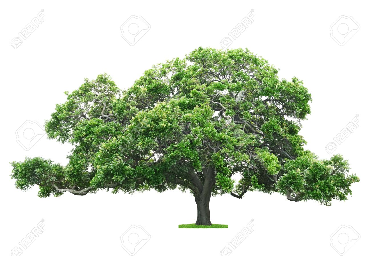 Green beautiful and big tree isolated on white background Stock Photo - 18621375