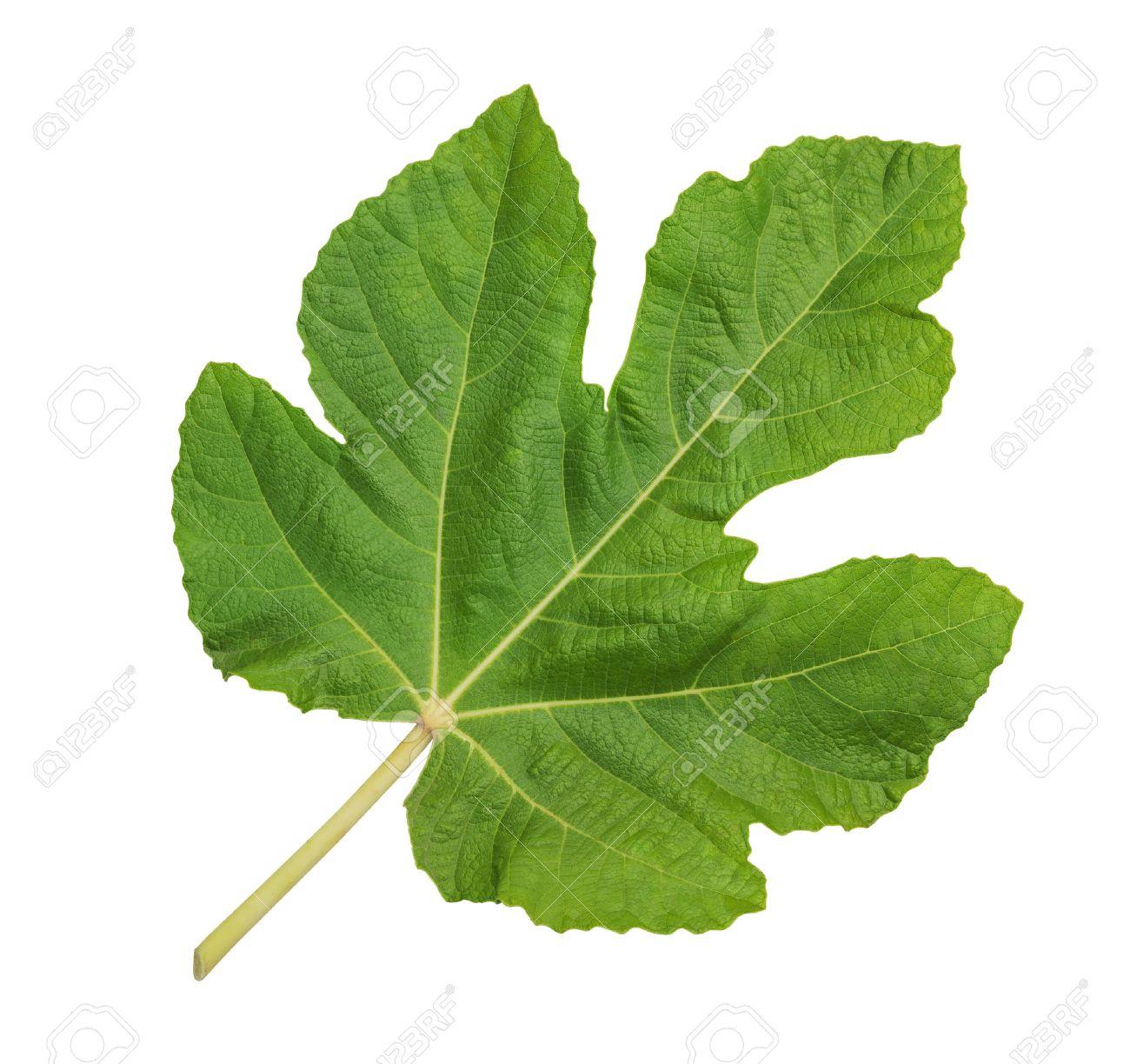 Fig leaf images 10