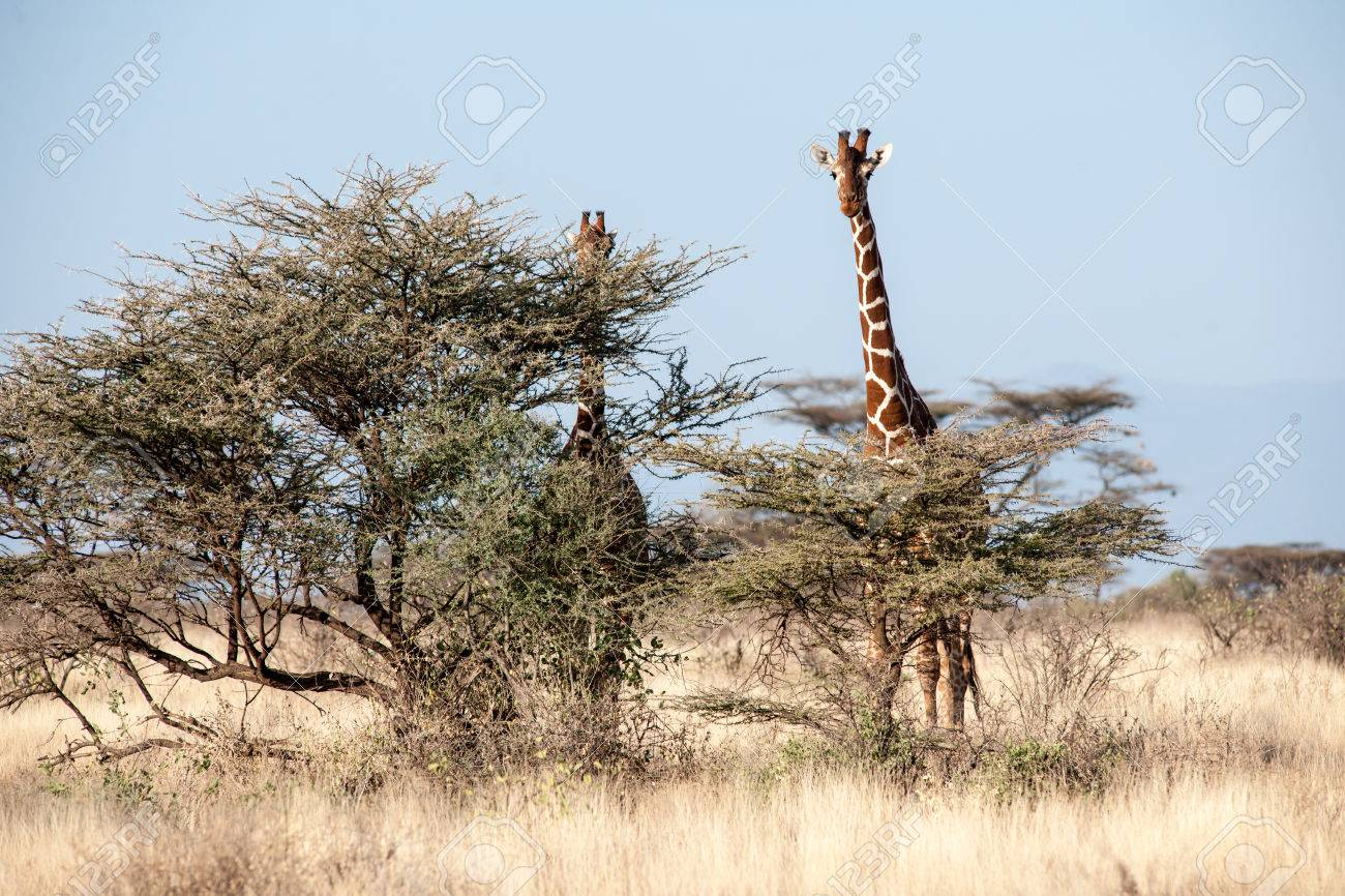 Giraffe In The Savannah Of Afica Stock Photo, Picture And Royalty ...