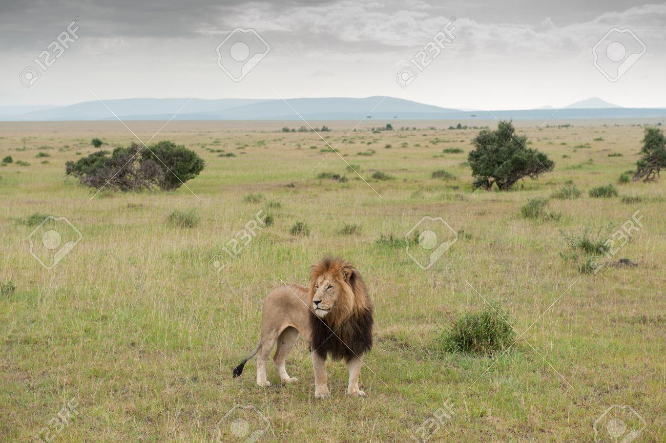 Savannah Lion - Burrard-Lucas Photography