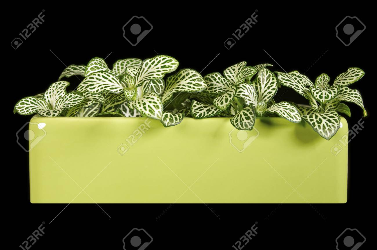 Indoor plant Fittonia isolated on a black background Stock Photo - 12575224